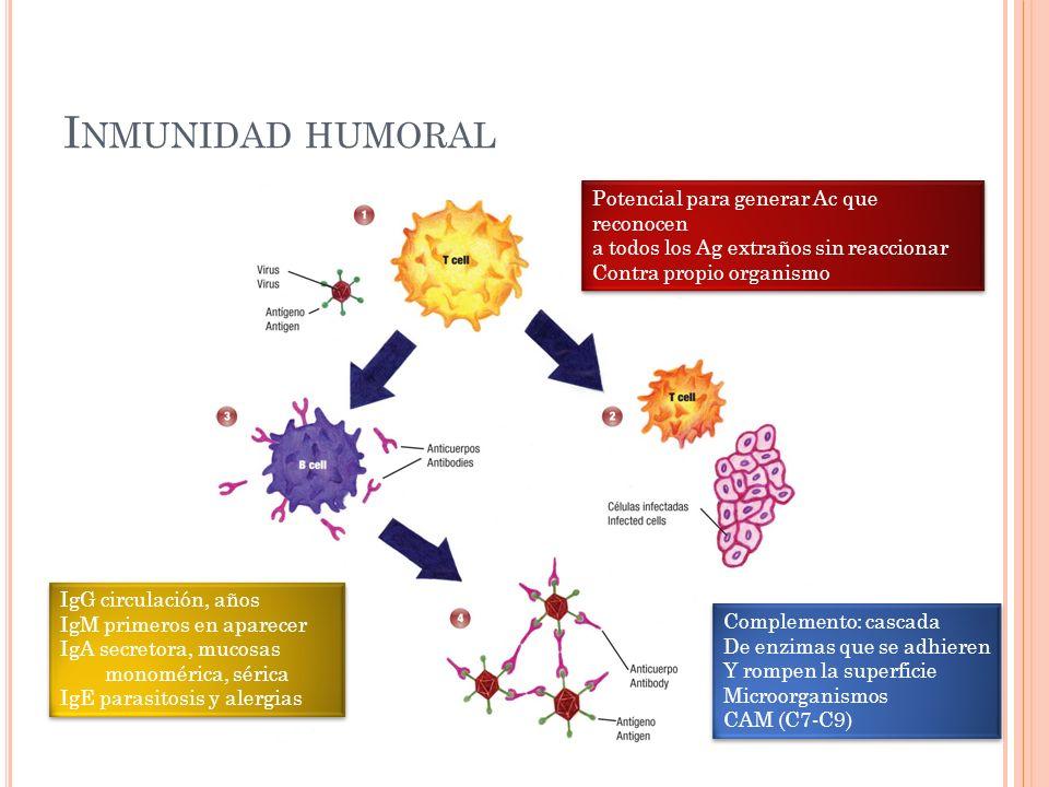 Inmunidad humoral Potencial para generar Ac que reconocen