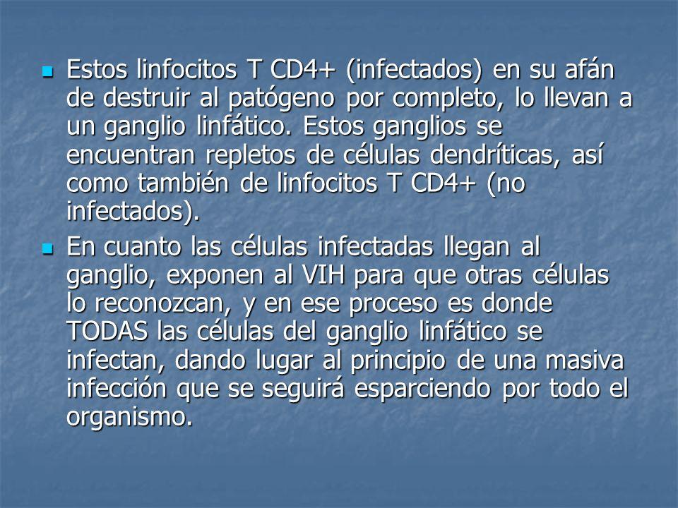 Estos linfocitos T CD4+ (infectados) en su afán de destruir al patógeno por completo, lo llevan a un ganglio linfático. Estos ganglios se encuentran repletos de células dendríticas, así como también de linfocitos T CD4+ (no infectados).