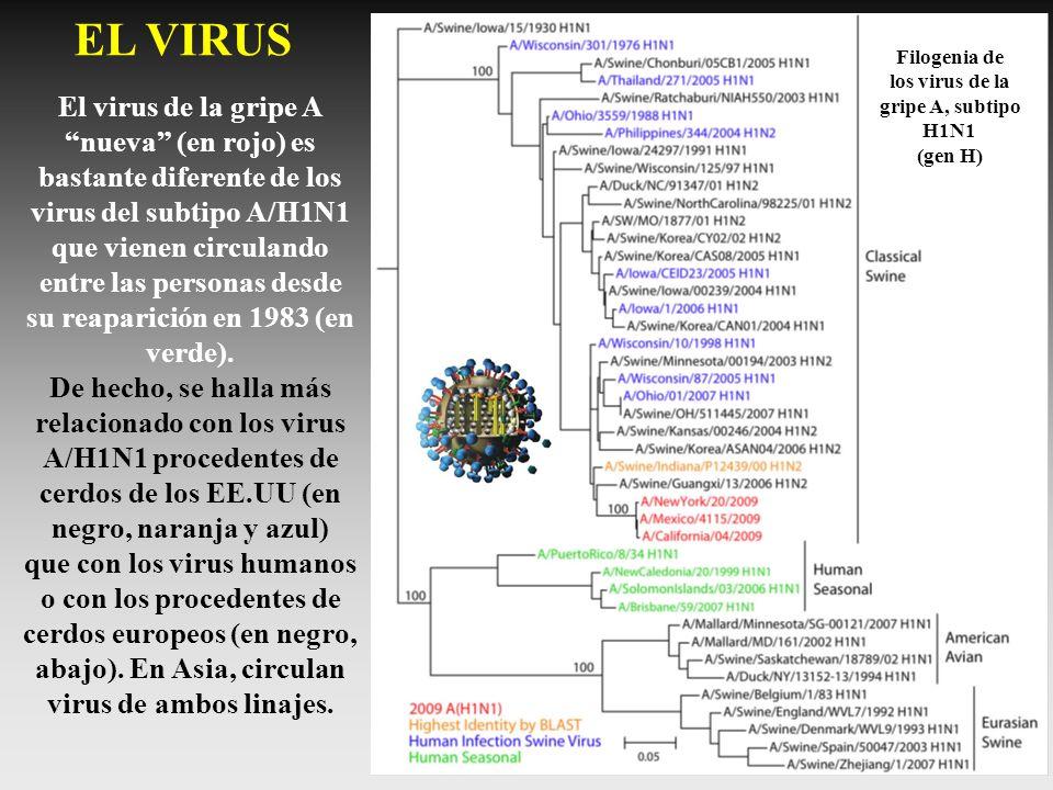 EL VIRUS Filogenia de. los virus de la. gripe A, subtipo. H1N1. (gen H)
