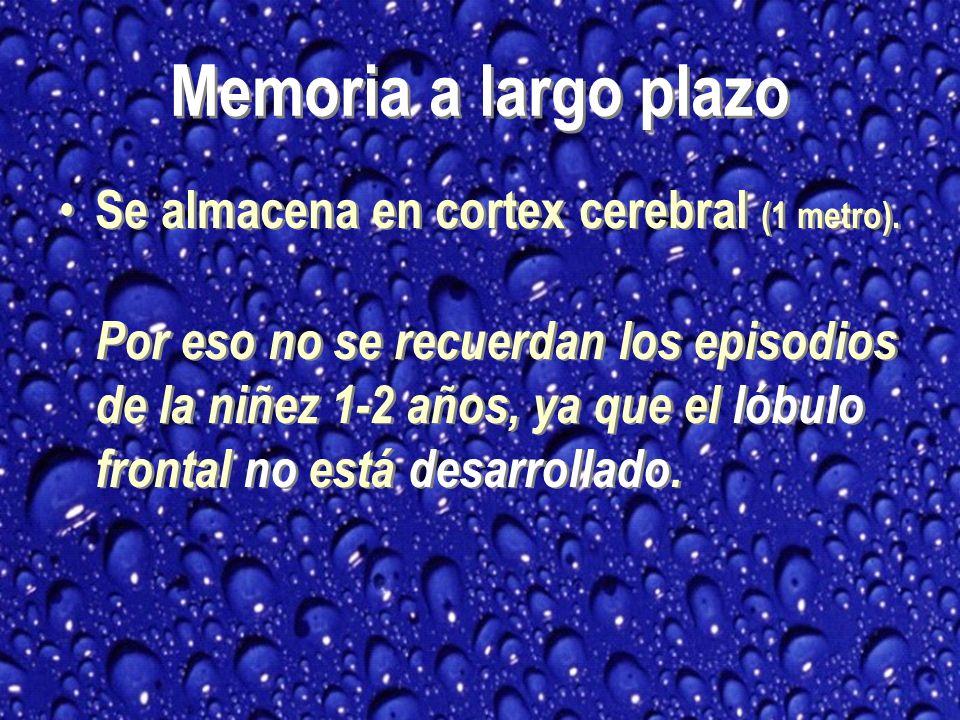 Memoria a largo plazo Se almacena en cortex cerebral (1 metro).