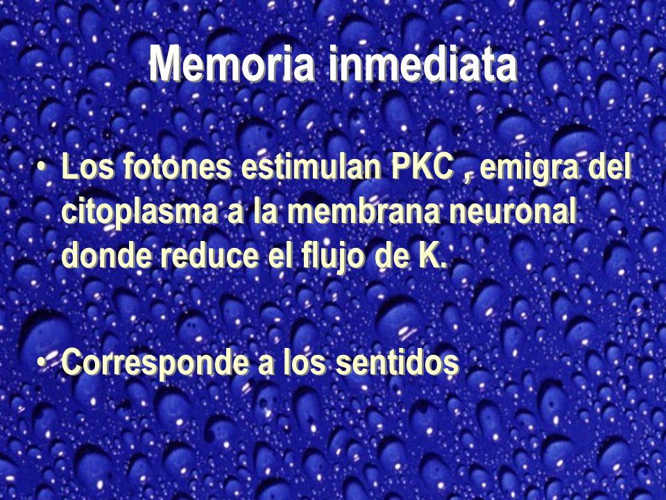 Memoria inmediata Los fotones estimulan PKC , emigra del citoplasma a la membrana neuronal donde reduce el flujo de K.