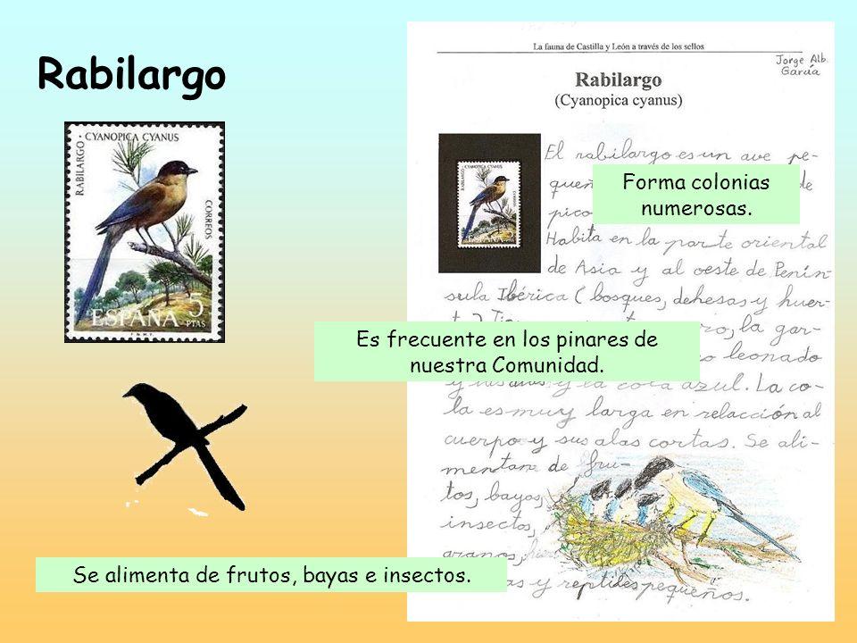 Rabilargo Forma colonias numerosas.