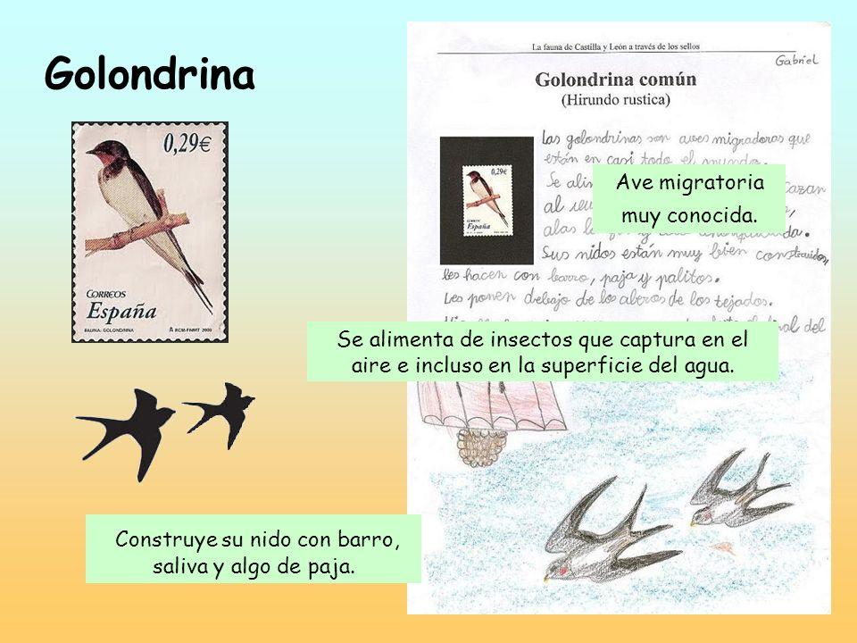 Golondrina Construye su nido con barro, saliva y algo de paja.