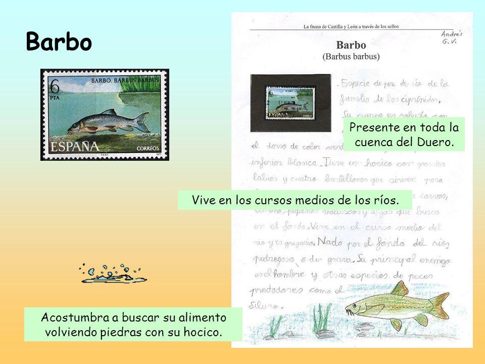 Barbo Presente en toda la cuenca del Duero.