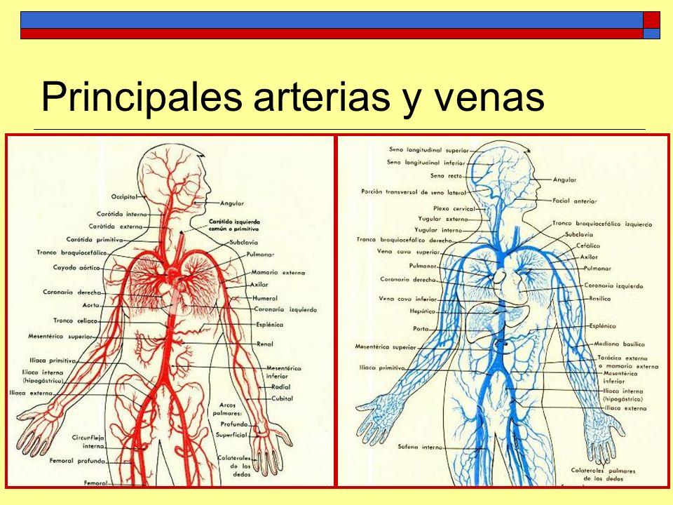 Encantador Venas Y Arterias Motivo - Anatomía de Las Imágenesdel ...