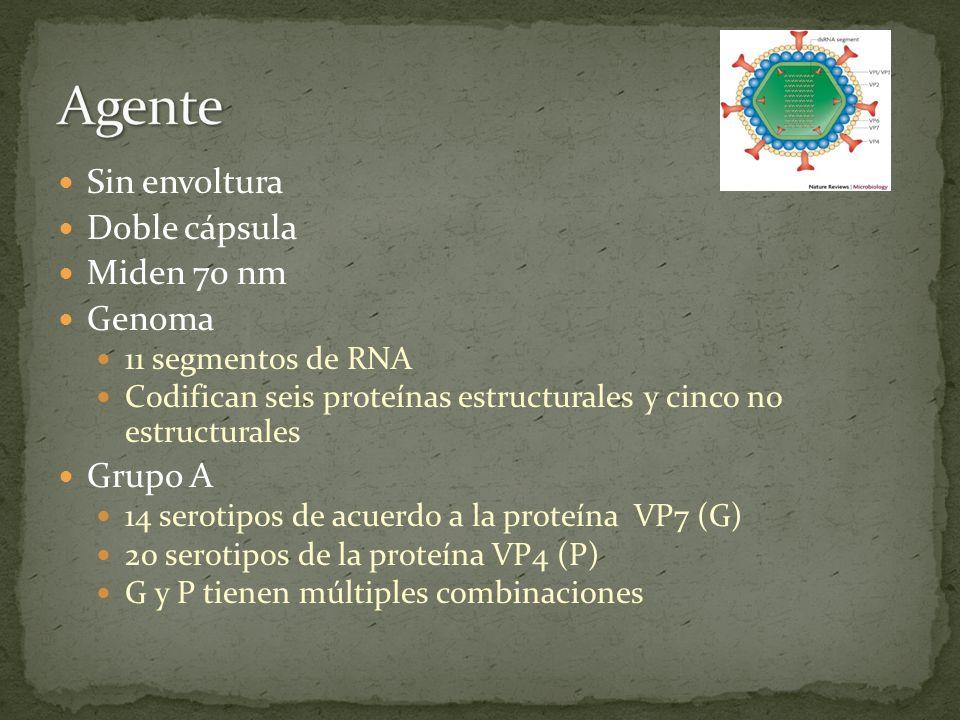Agente Sin envoltura Doble cápsula Miden 70 nm Genoma Grupo A
