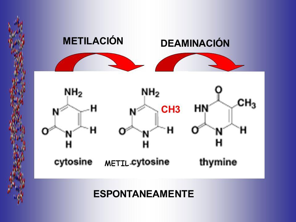 METILACIÓN DEAMINACIÓN CH3 METIL- ESPONTANEAMENTE