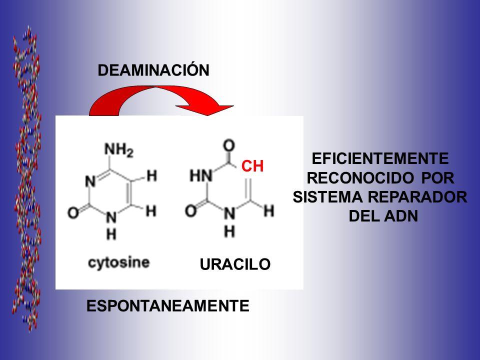 DEAMINACIÓN EFICIENTEMENTE RECONOCIDO POR SISTEMA REPARADOR DEL ADN CH URACILO ESPONTANEAMENTE