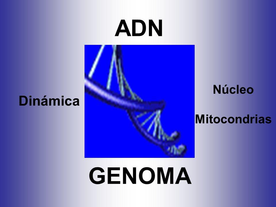 ADN Núcleo Mitocondrias Dinámica GENOMA