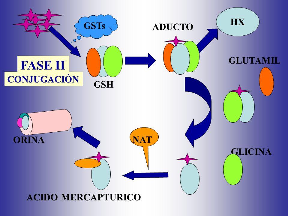 FASE II HX GSTs ADUCTO GLUTAMIL CONJUGACIÓN GSH ORINA NAT NAT GLICINA