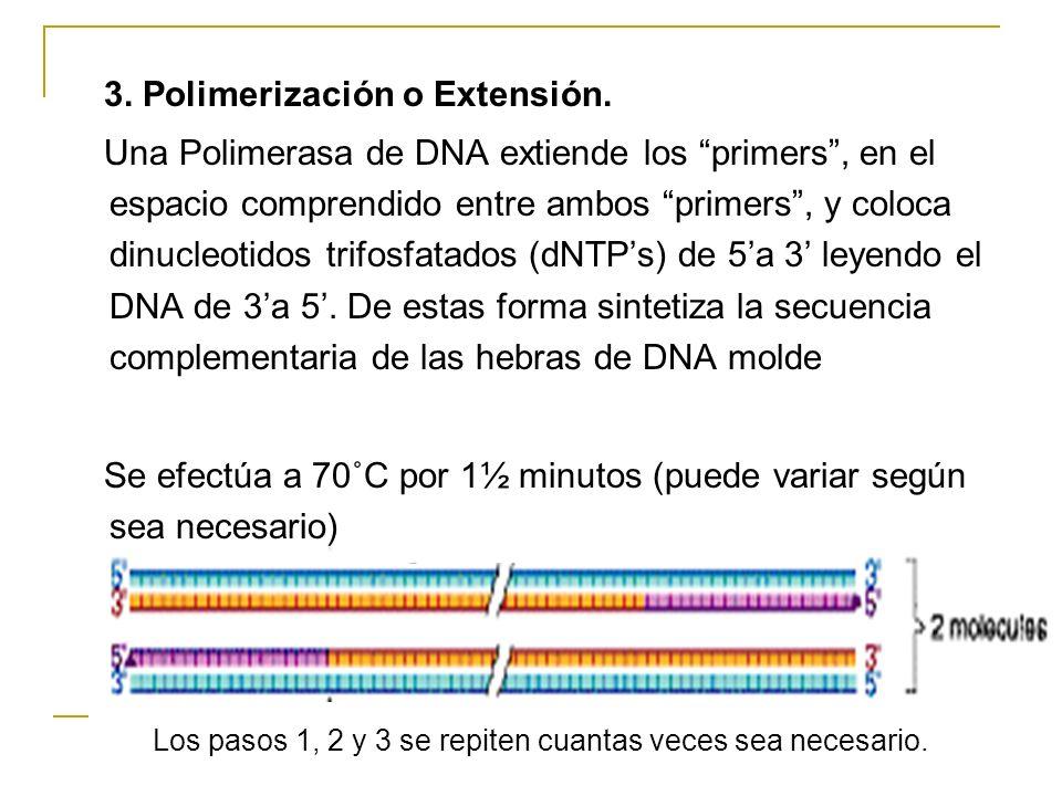 3. Polimerización o Extensión.