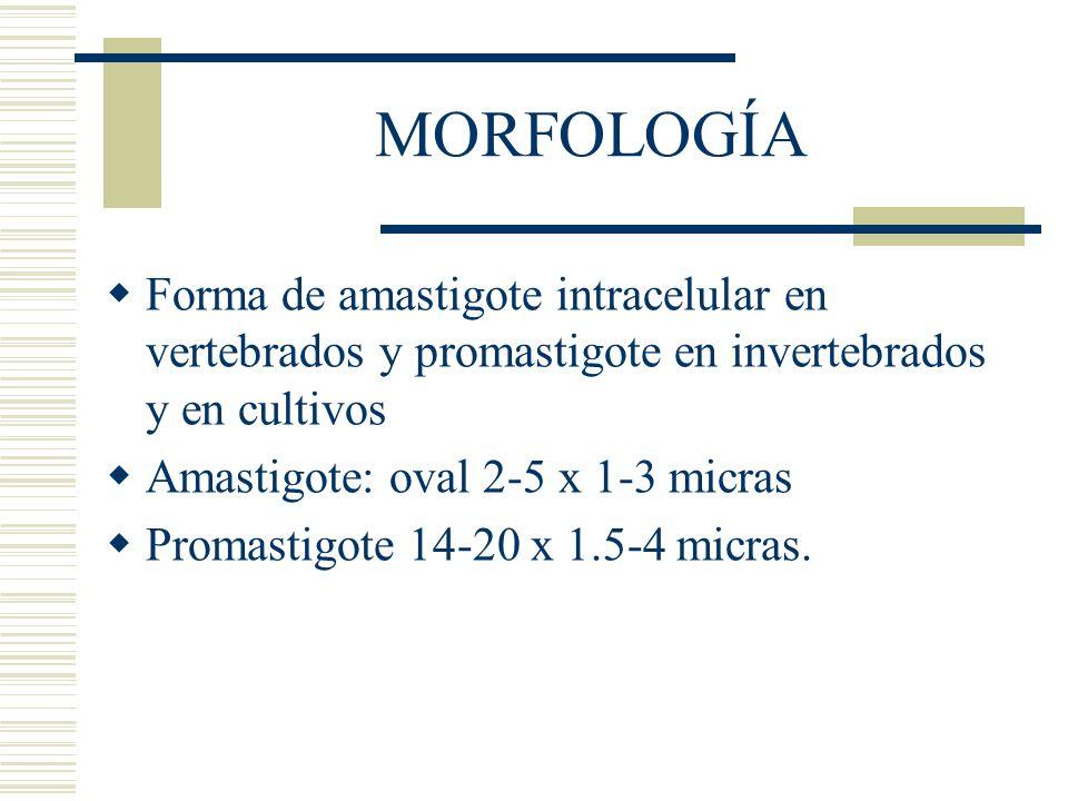 MORFOLOGÍA Forma de amastigote intracelular en vertebrados y promastigote en invertebrados y en cultivos.