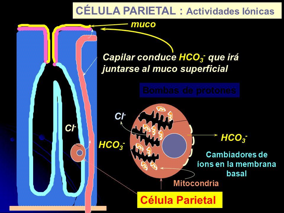 Cambiadores de íons en la membrana basal