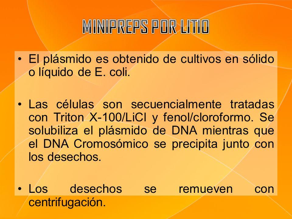 MINIPREPS POR LITIO El plásmido es obtenido de cultivos en sólido o líquido de E. coli.