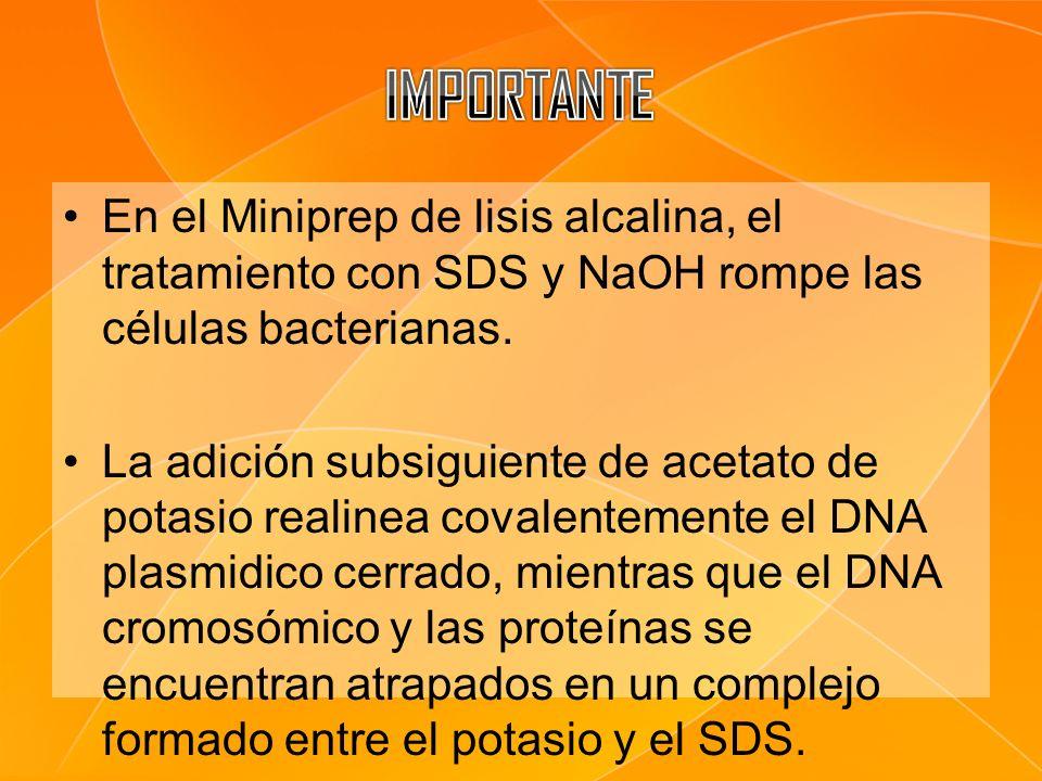 IMPORTANTE En el Miniprep de lisis alcalina, el tratamiento con SDS y NaOH rompe las células bacterianas.