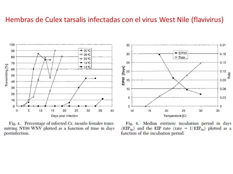Hembras de Culex tarsalis infectadas con el virus West Nile (flavivirus)