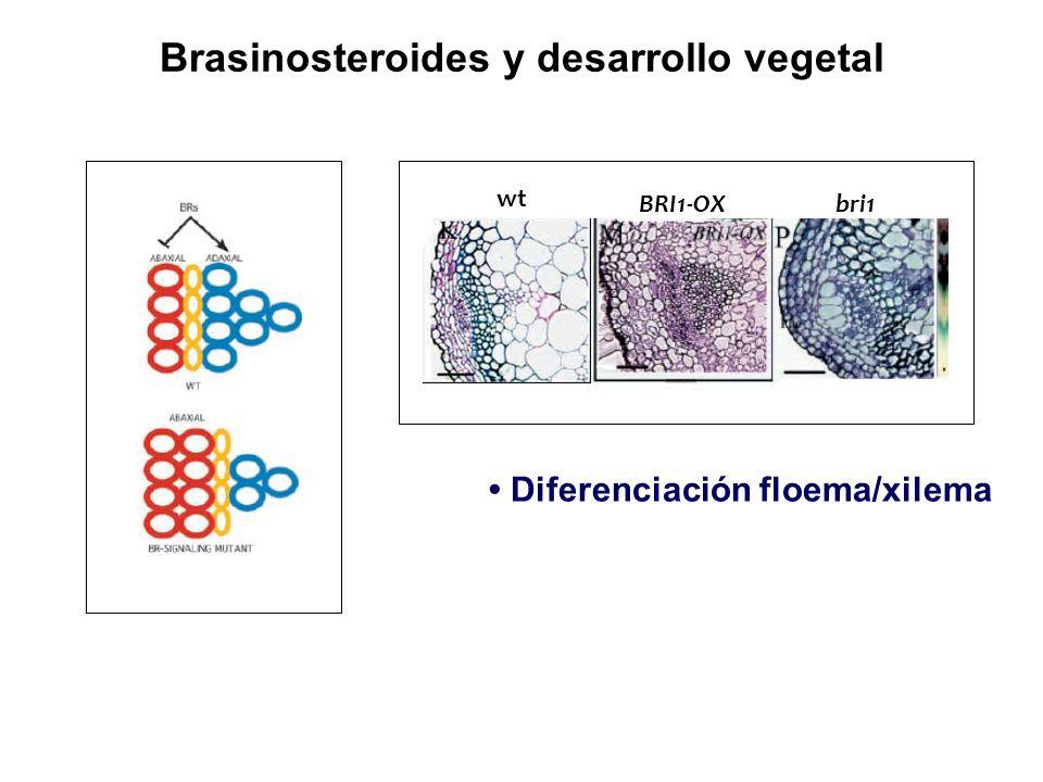 Brasinosteroides y desarrollo vegetal