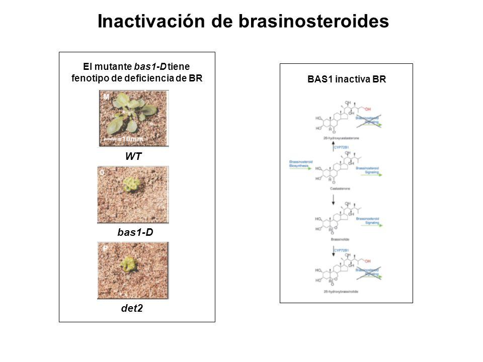 Inactivación de brasinosteroides