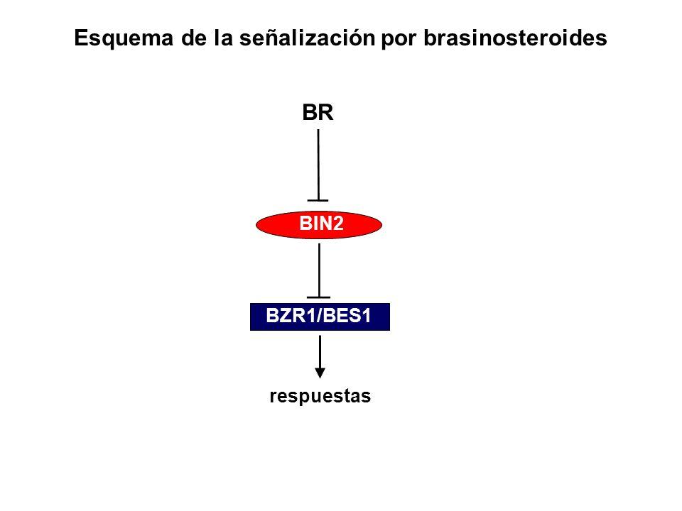 Esquema de la señalización por brasinosteroides