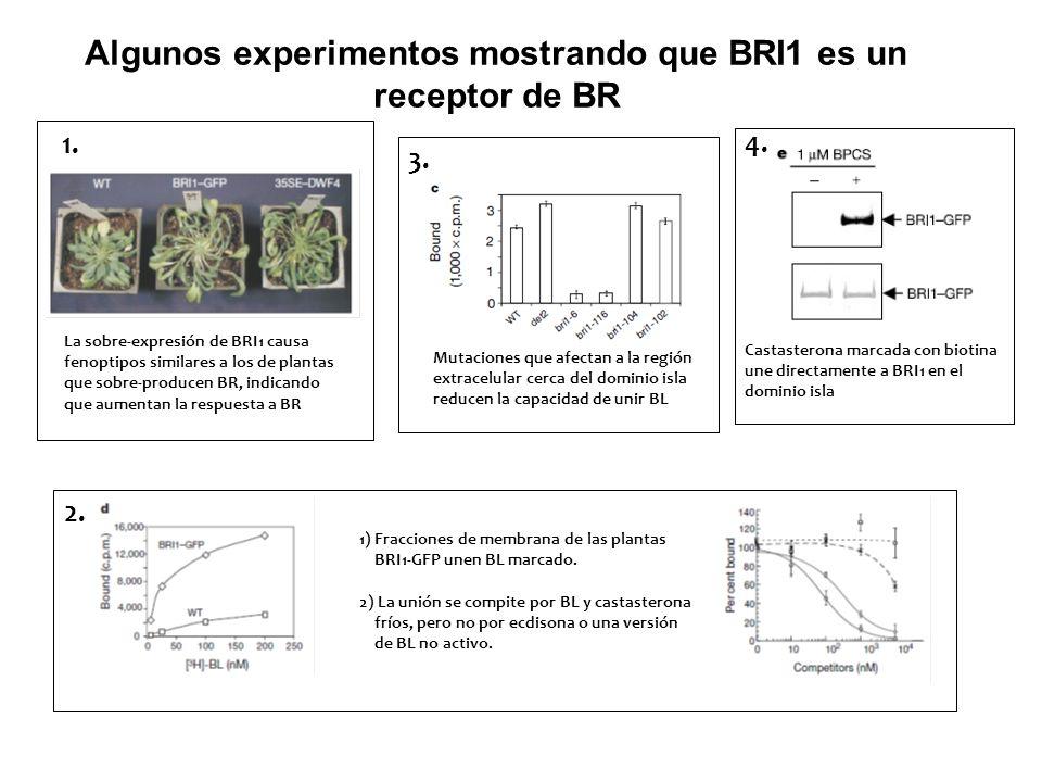 Algunos experimentos mostrando que BRI1 es un receptor de BR