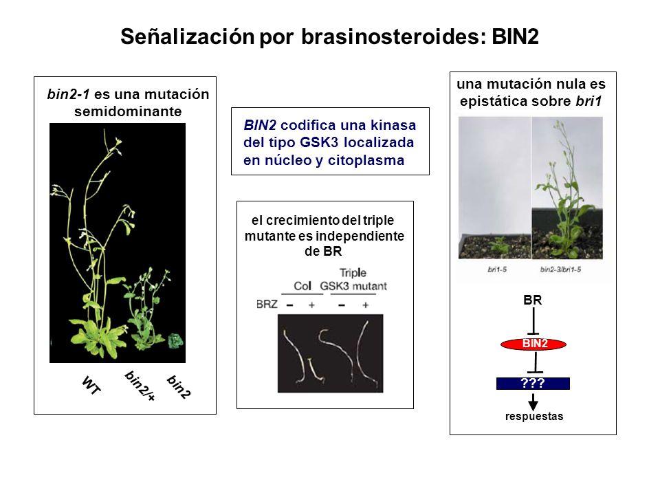 Señalización por brasinosteroides: BIN2