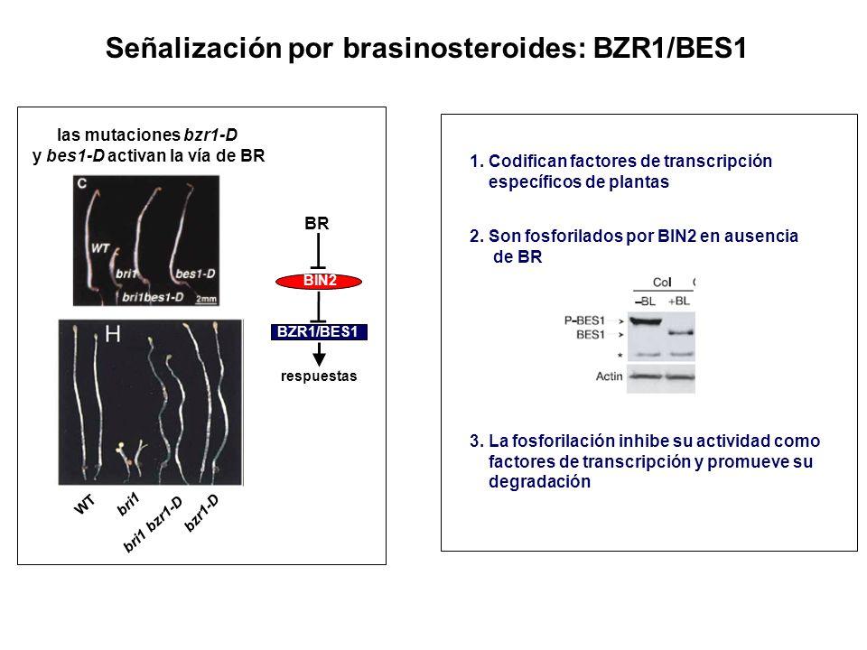 Señalización por brasinosteroides: BZR1/BES1