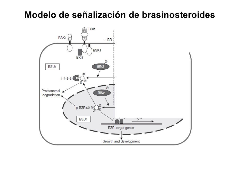 Modelo de señalización de brasinosteroides