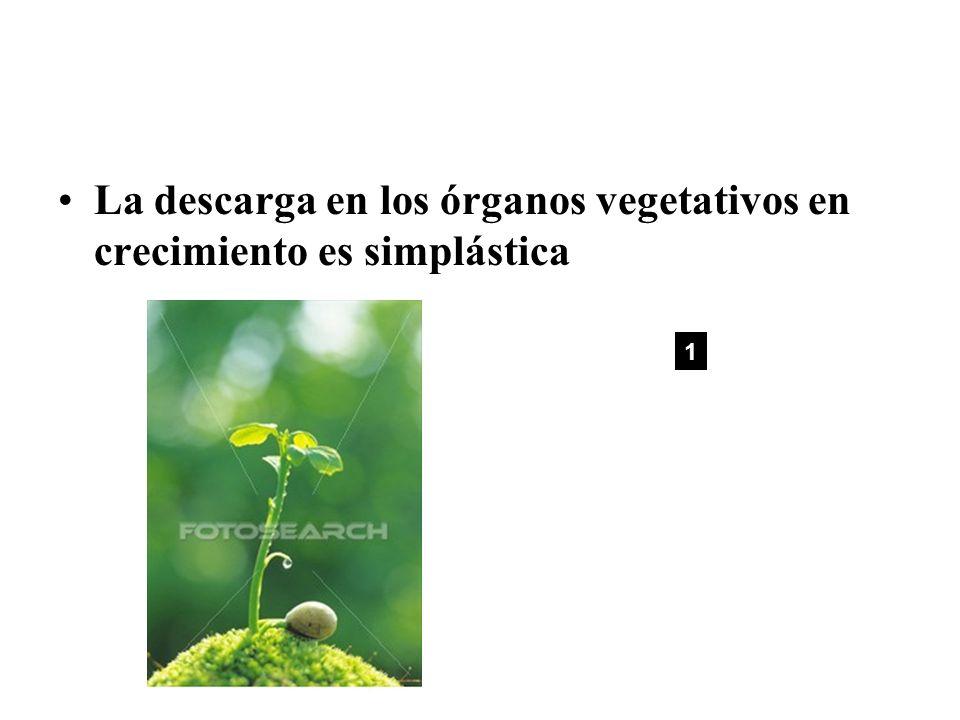 La descarga en los órganos vegetativos en crecimiento es simplástica