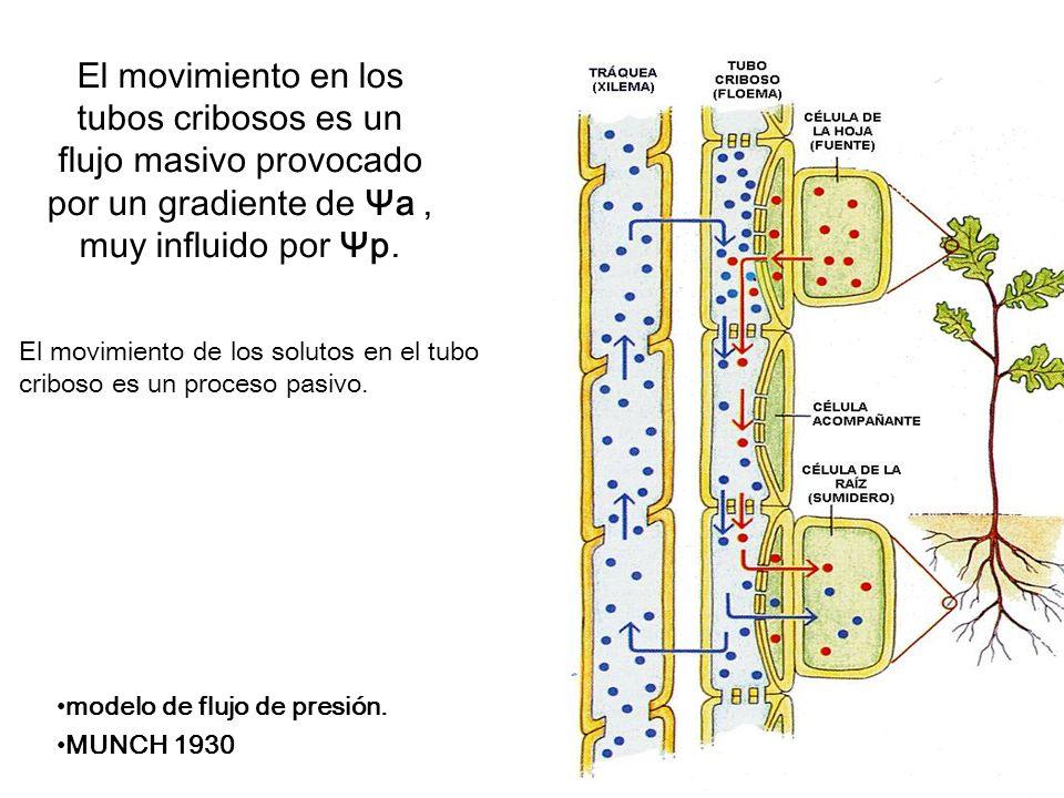El movimiento en los tubos cribosos es un flujo masivo provocado por un gradiente de Ψa , muy influido por Ψp.