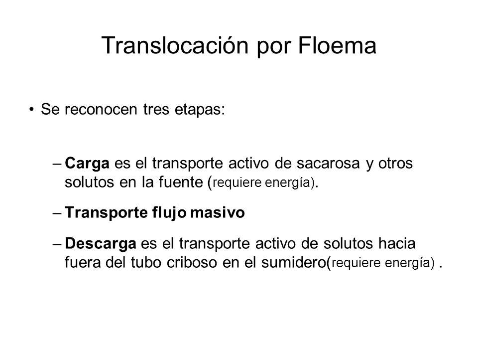 Translocación por Floema