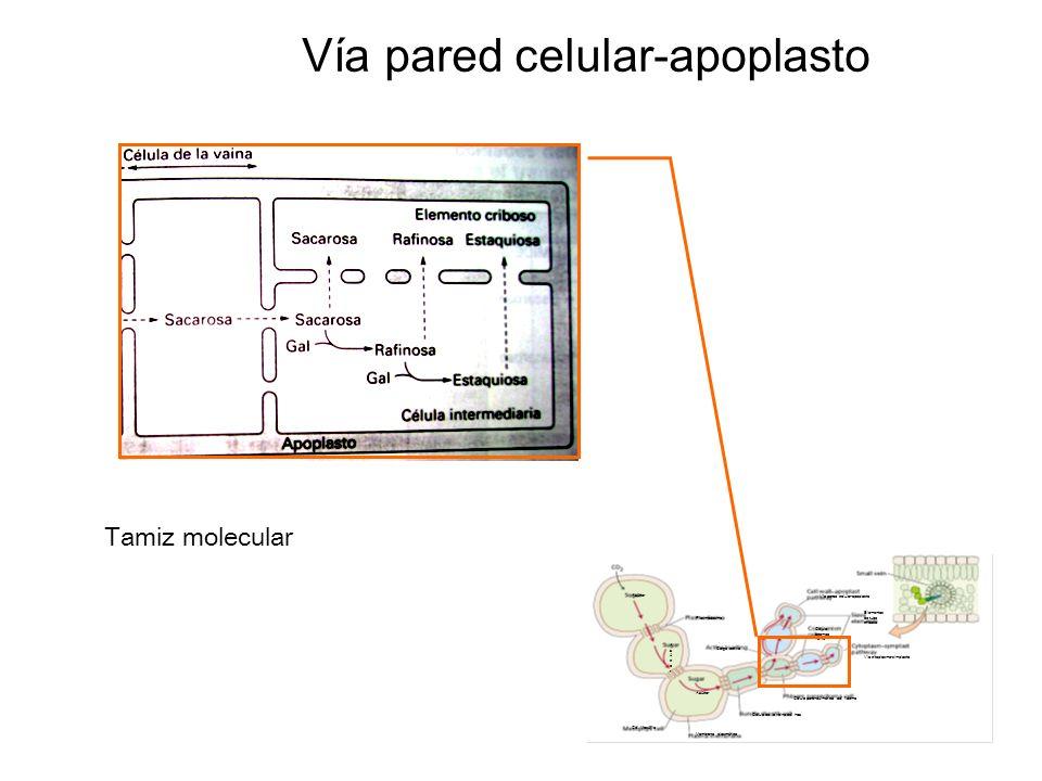 Vía pared celular-apoplasto