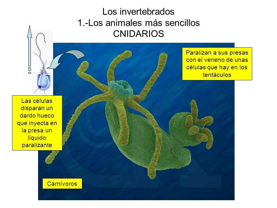 Los invertebrados 1.-Los animales más sencillos CNIDARIOS