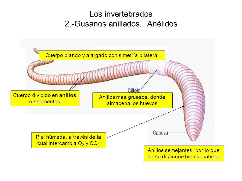 Los invertebrados 2.-Gusanos anillados.. Anélidos