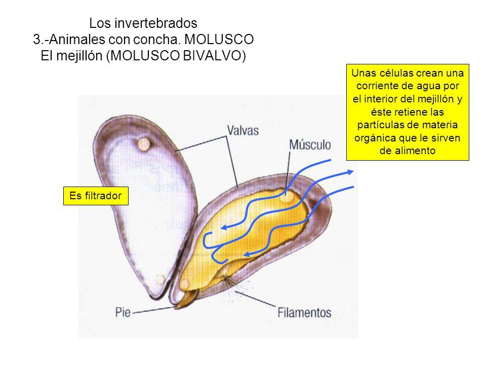 Los invertebrados 3. -Animales con concha