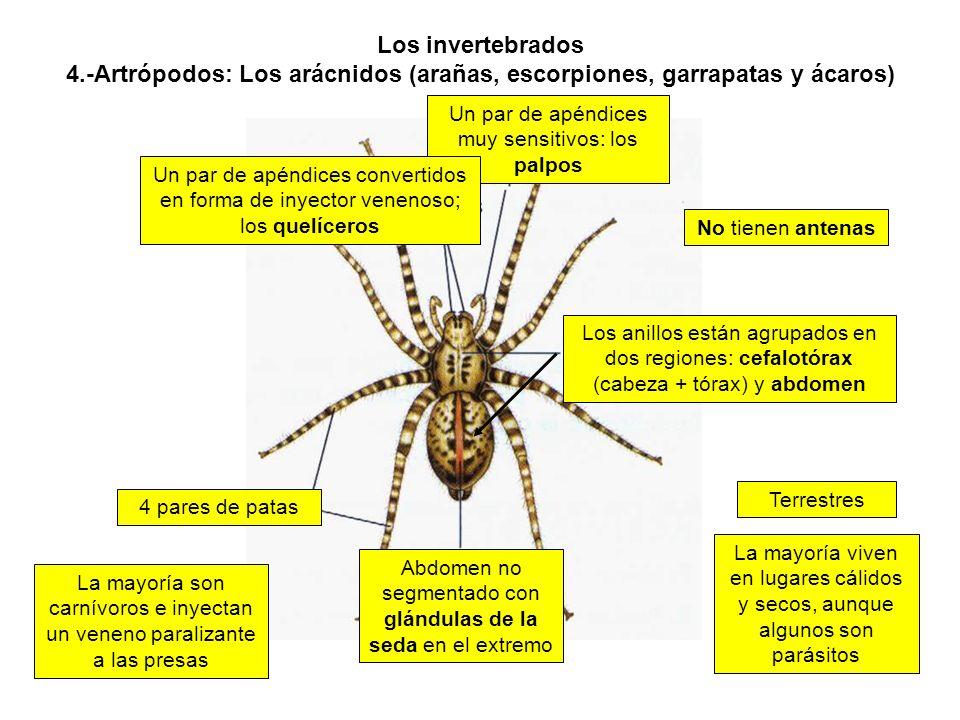 Los invertebrados 4.-Artrópodos: Los arácnidos (arañas, escorpiones, garrapatas y ácaros)