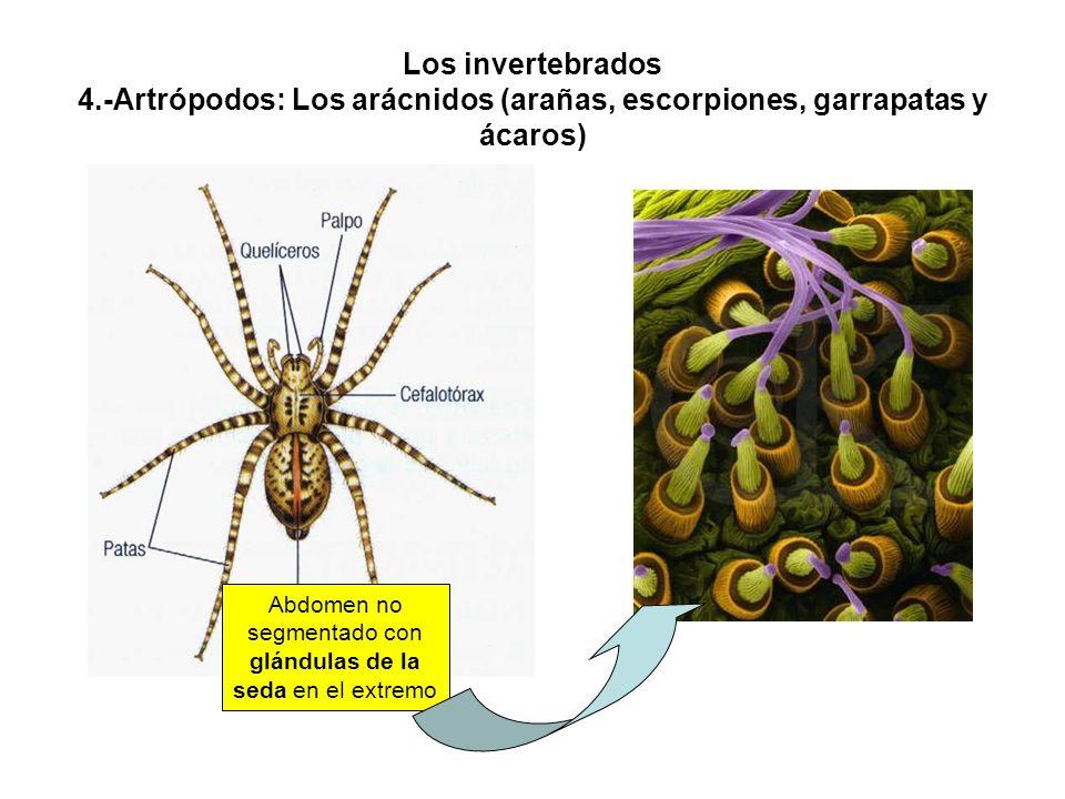 Abdomen no segmentado con glándulas de la seda en el extremo