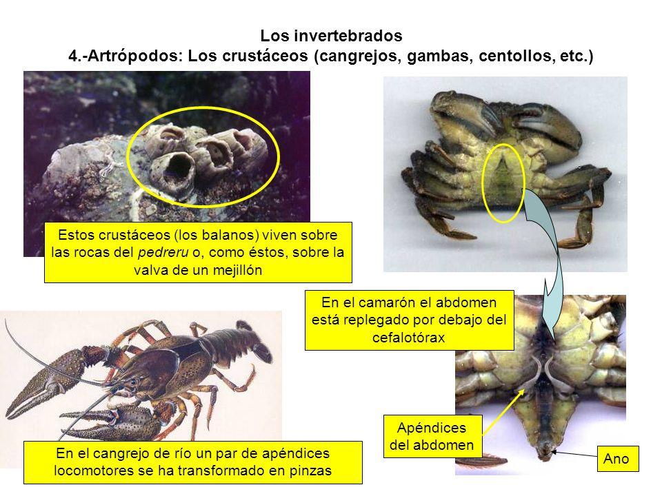 En el camarón el abdomen está replegado por debajo del cefalotórax