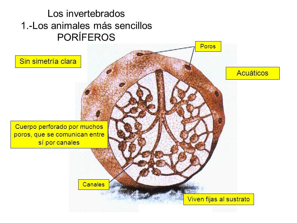 Los invertebrados 1.-Los animales más sencillos PORÍFEROS