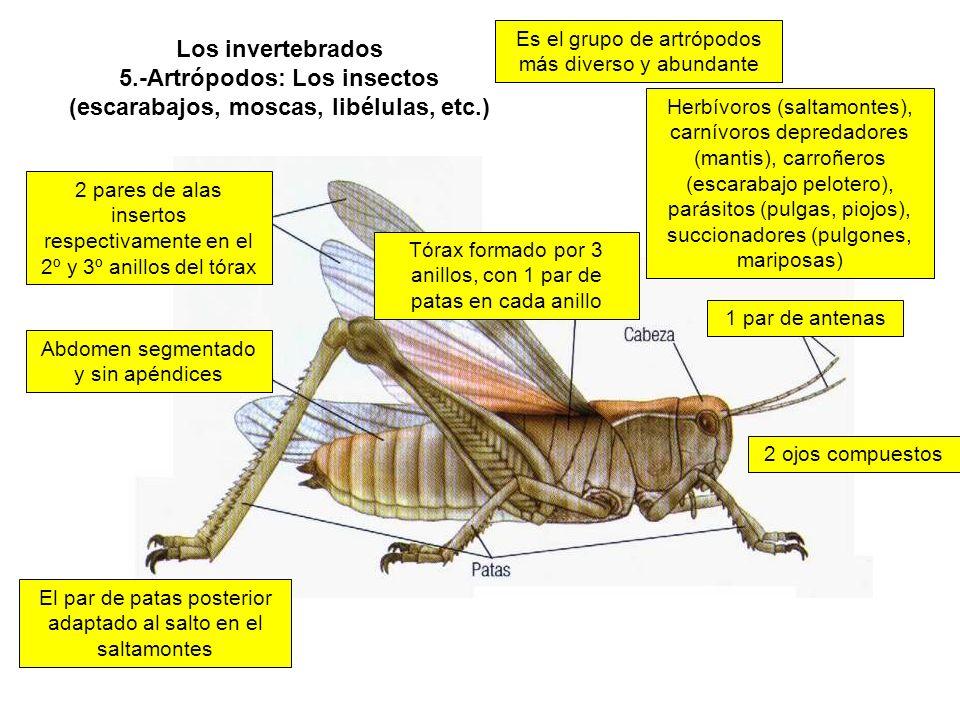 Es el grupo de artrópodos más diverso y abundante