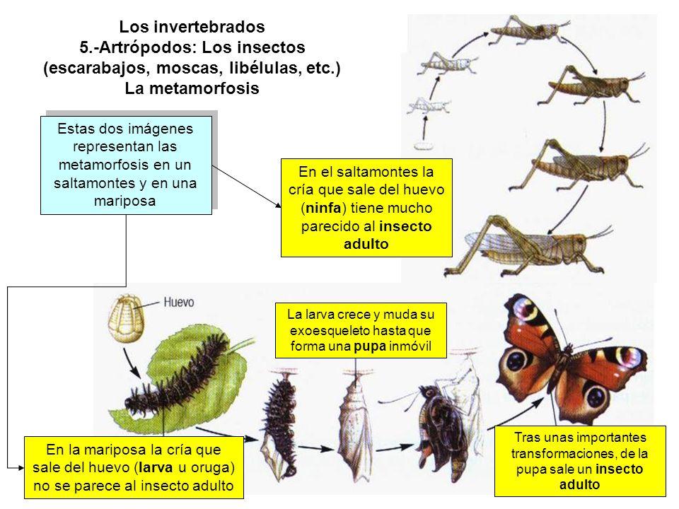 La larva crece y muda su exoesqueleto hasta que forma una pupa inmóvil