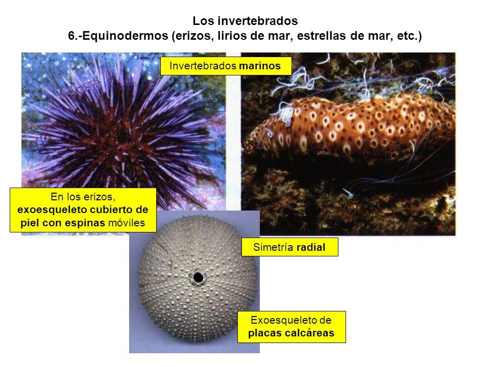 Los invertebrados 6.-Equinodermos (erizos, lirios de mar, estrellas de mar, etc.)