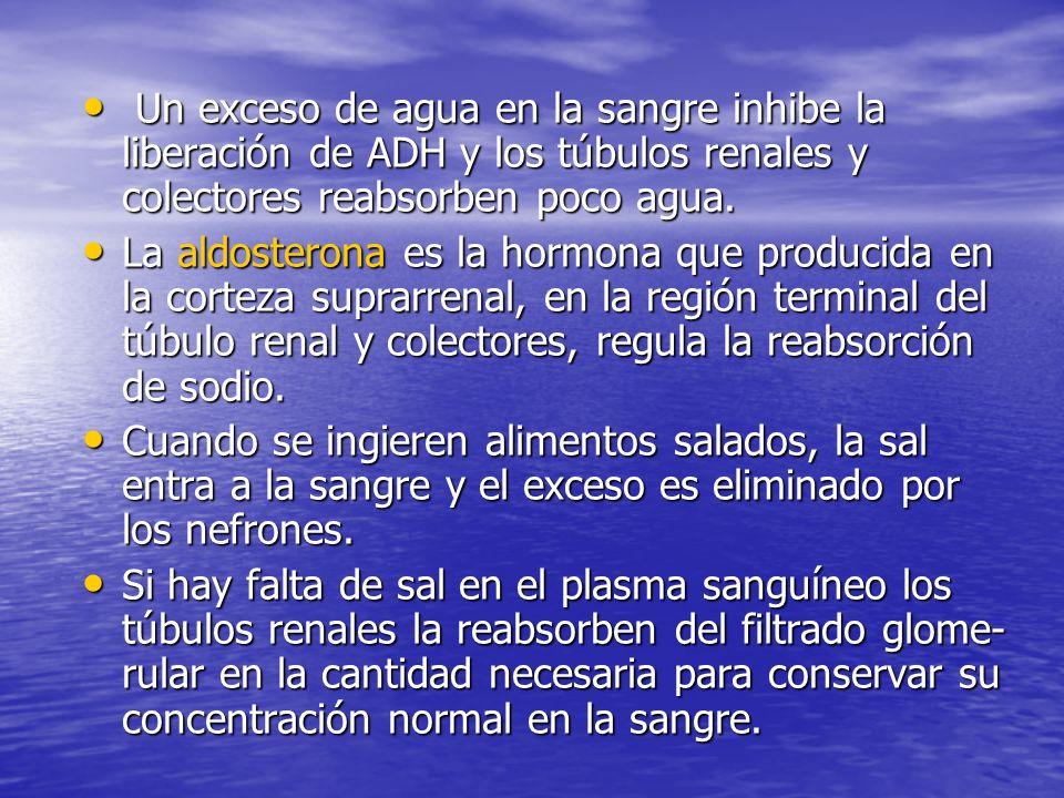 Un exceso de agua en la sangre inhibe la liberación de ADH y los túbulos renales y colectores reabsorben poco agua.