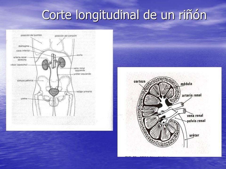 Corte longitudinal de un riñón
