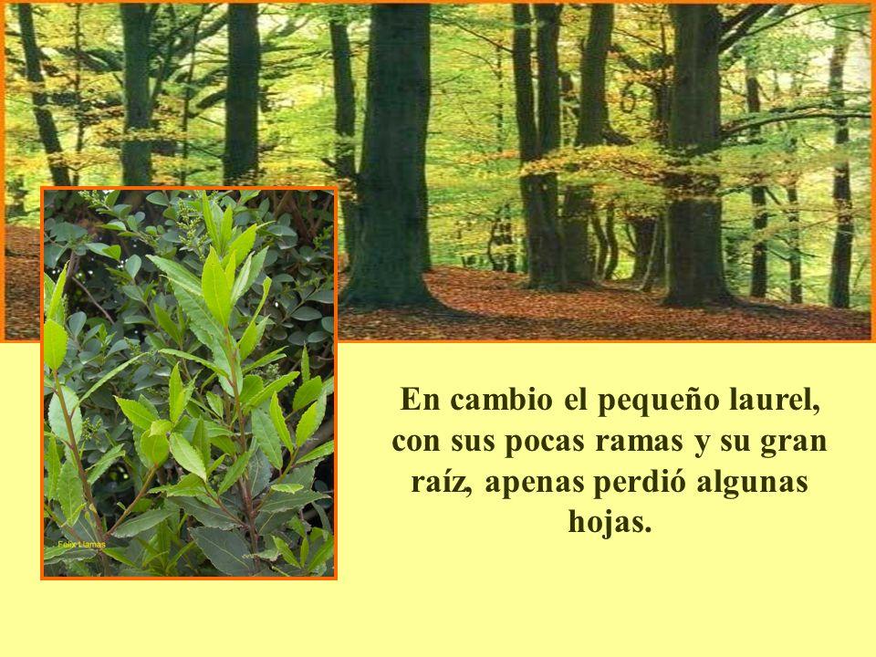 En cambio el pequeño laurel, con sus pocas ramas y su gran raíz, apenas perdió algunas hojas.