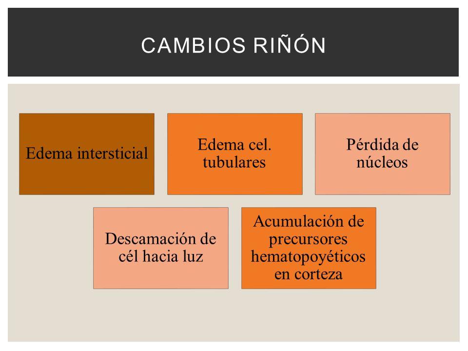 Cambios riñón Edema intersticial Edema cel. tubulares