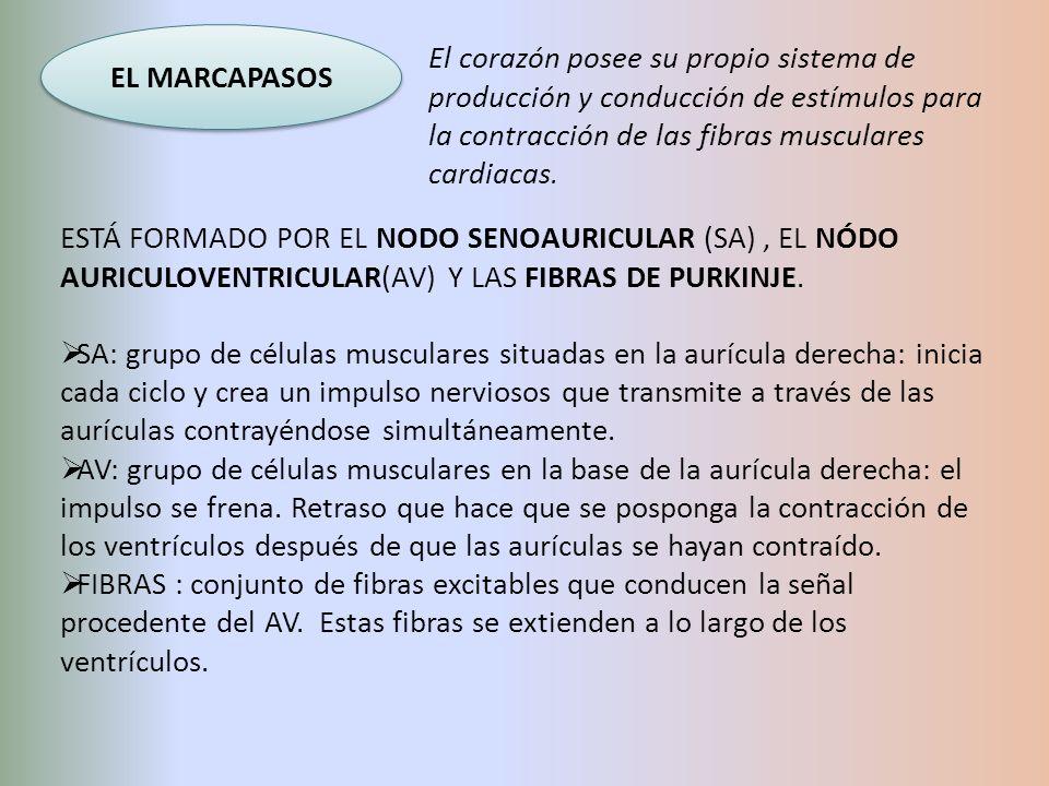 EL MARCAPASOS El corazón posee su propio sistema de producción y conducción de estímulos para la contracción de las fibras musculares cardiacas.