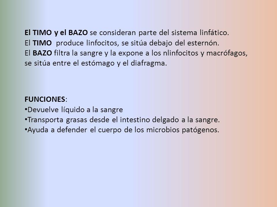 El TIMO y el BAZO se consideran parte del sistema linfático.