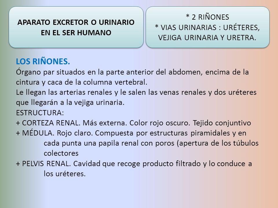 APARATO EXCRETOR O URINARIO EN EL SER HUMANO