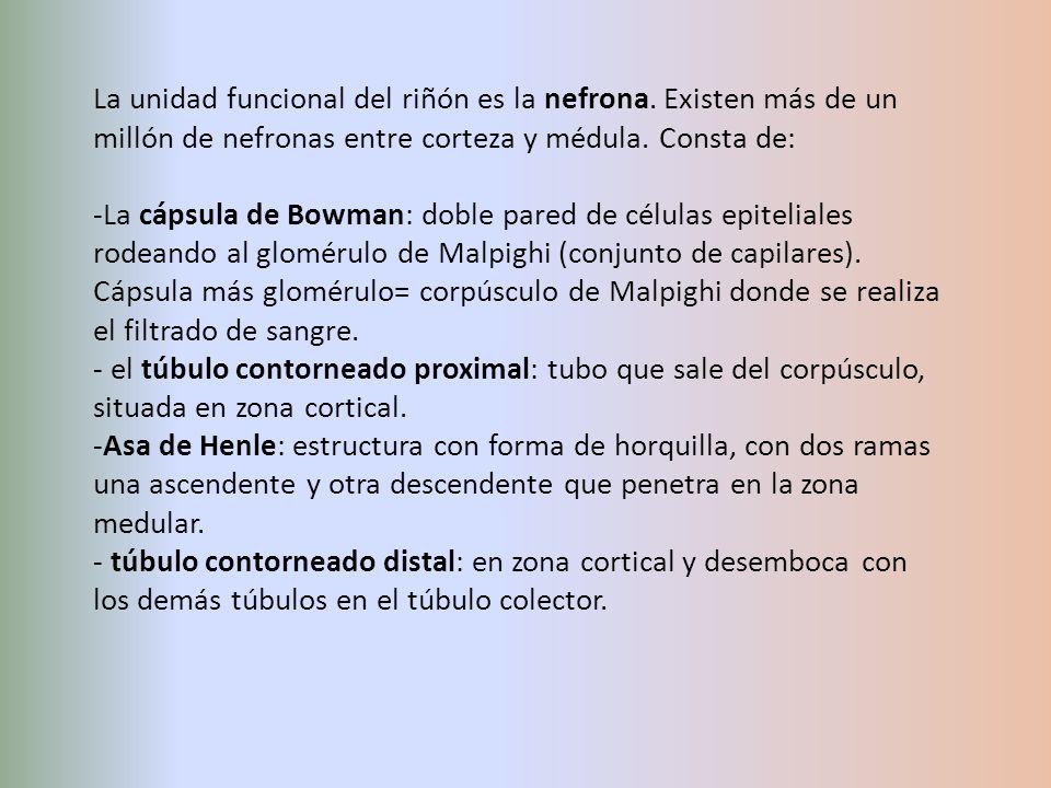 La unidad funcional del riñón es la nefrona