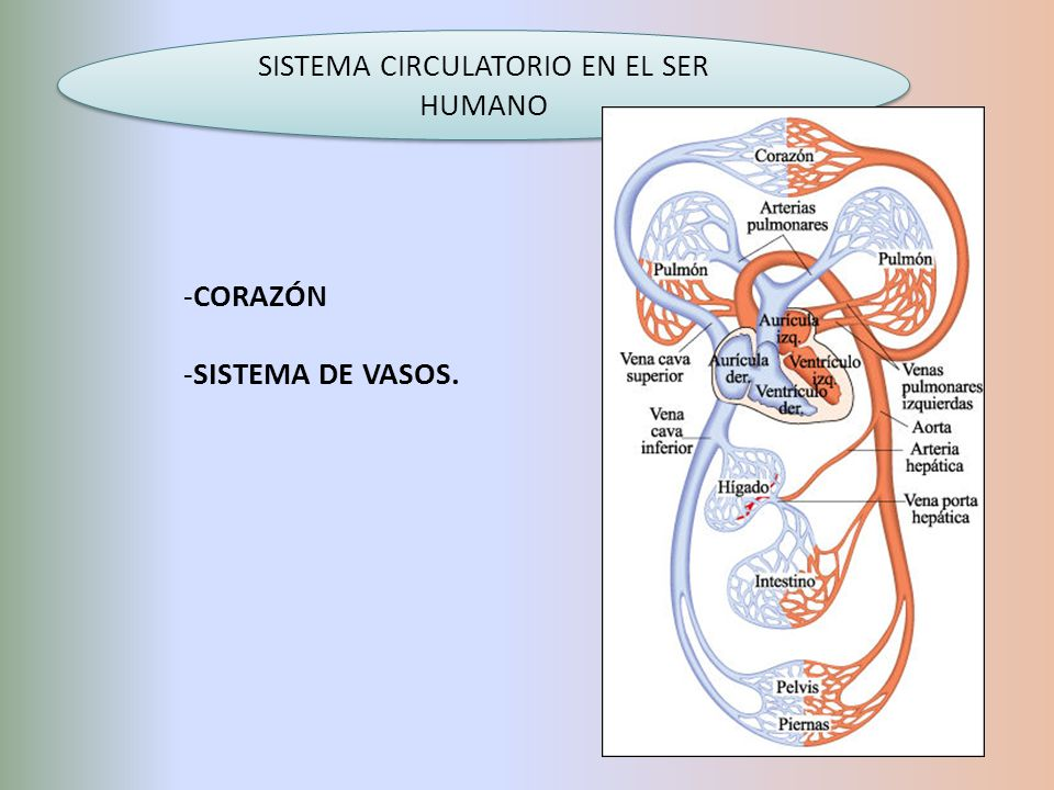 SISTEMA CIRCULATORIO EN EL SER HUMANO